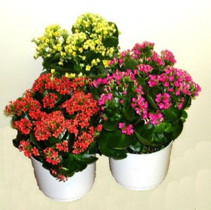 Colourful Christmas Kalanchoe plants.