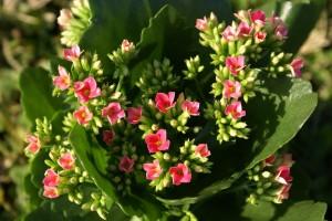 Pink Kalanchoe buds.