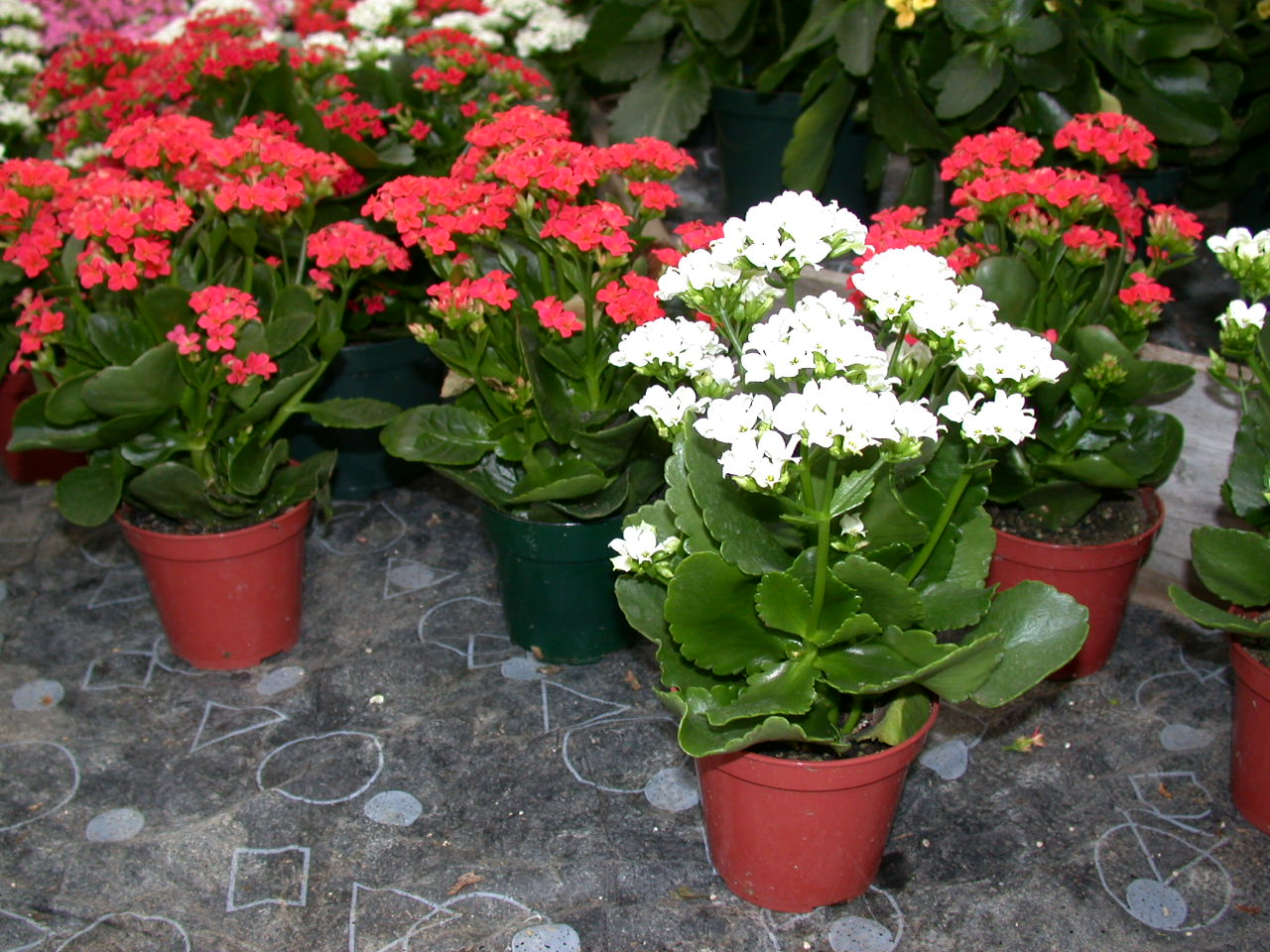 How to care for christmas kalanchoe the unscripted mind for Plantas de exterior